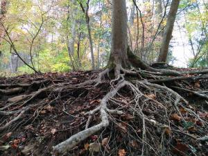roots of trees 2