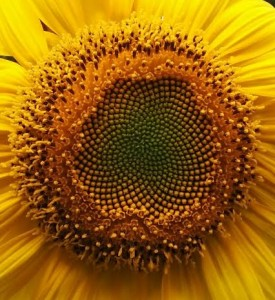sunflower seed photo